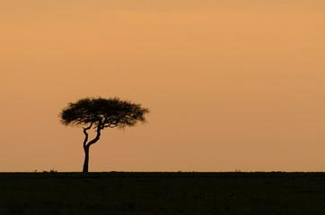 Alone acacia tree africa