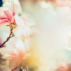 Wonderful  magnolia blossom in sun light , springtime nature background, floral border, pastel color, soft focus