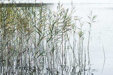 Natural background, photo of coastal reed