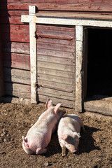 Pigs that rests outside the sty