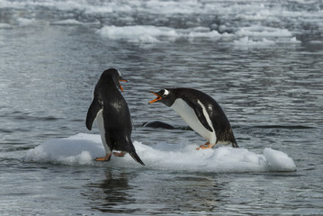Photo sur Toile Pingouin Gentoo Penguin on the ice