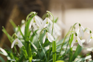 white snowdrops in sunny warm spring days, shallow focus
