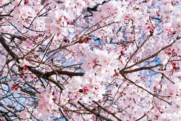 Cherry blossom season, Tokyo Japan