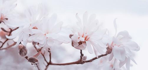 zarte Magnolienblüten high key