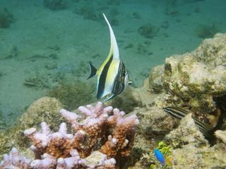 A juvenile fish moorish idol, Zanclus cornutus, Pacific ocean, underwater in the lagoon of Huahine, French Polynesia