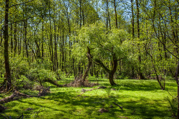 Beautiful green spring forest landscape, humid sunny day