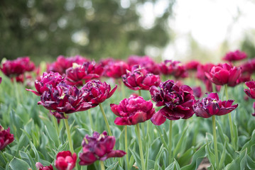 Purple and Red Tulips in Garden
