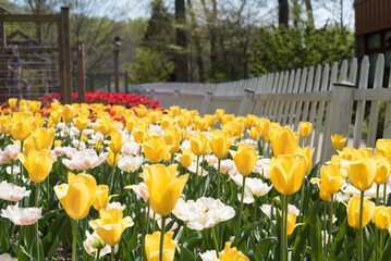 Yellow Orange White Pink and Red Tulips in Garden