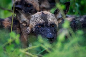 Wet African wild dog starring.