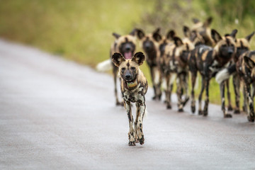 Pack of African wild dogs on the road.