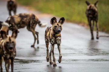 African wild dog walking towards the camera.