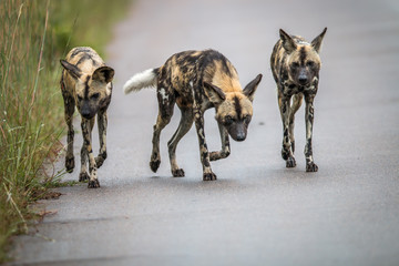African wild dogs on the road.