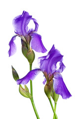 Two violet irises