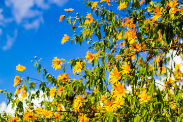 Maxican Sunflower in Thailand