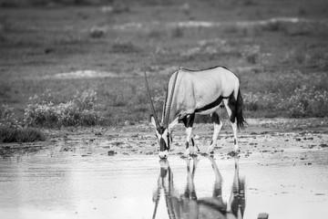 Drinking Gemsbok in black and white.