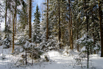 Coniferous fir trees covered snow. Winter Wonderland wildlife of Northern regions. Pine and trees covered with a thick layer of freshly fallen snow in winter.