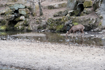 Deer in Nara Park is a public park located in city of Nara, Japan at foot of Mount Wakakusa, established in 1300s and one of the oldest parks in Japan, the park is under the control of Nara Prefecture