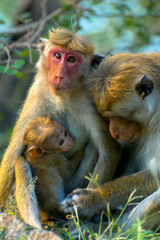 Sri Lankan Monkeys At Yala National Park. The Toque Macaque Is A Reddish Brown Coloured Old World Monkey Endemic To Sri Lanka