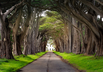 Cypress Tunnel, Point Reyes Wall mural