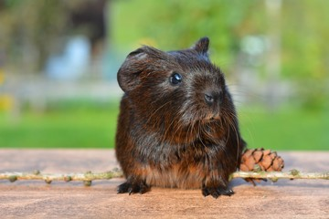 Nice Guinea Pig With All Black