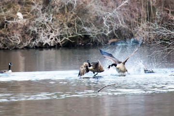 Canadian geese fighting or flirting