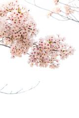 Sakura flower with tree branch