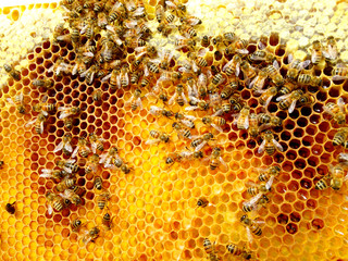 Honey bees on foundationless comb