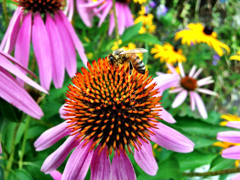 Honey bee foraging on Echinacea