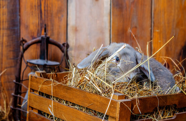 A small fluffy rabbit is sitting in a brown wooden box. The box is full of straw, on which the rabbit sits.