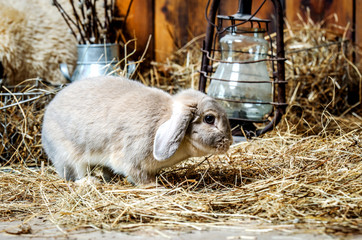 A small gray rabbit walks the straw floor.
