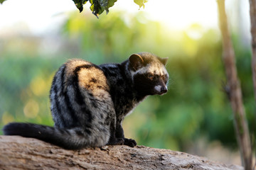 Civet Cat in Coffee  plantation