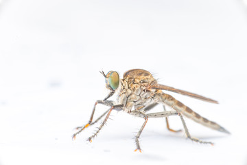 Brown Heath Robberfly (Arthropoda: Diptera: Asilidae: Machimus: Machimus cingulatus) descend and crawling on a white paper isolated with white background