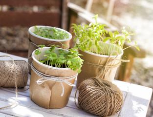 Seedlings of herbs