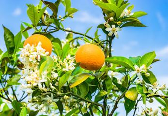 Fototapete - Orangenbaum