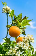 Fototapete - Orangenbaum Früchte und Blüten