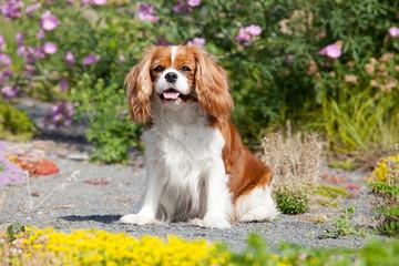 Portrait of lovely Cavalier King Charles spaniel