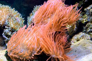Sea Anomone