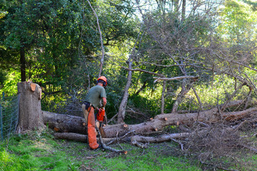 Arborist cutting up a large dead larch tree in the yard.