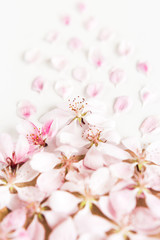 close up of light and soft petals of sakura on white background. Concept of love. feeling of spring. Flat lay.