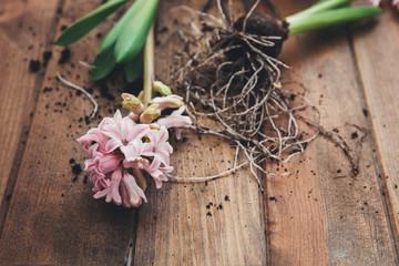 Hyacinth flowers. Gardening concept