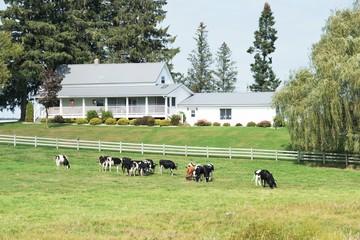 Cows by Farmhouse