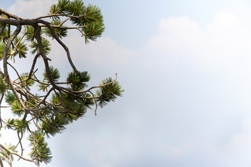 Pine branches at Crater Lake National Park with sky on right