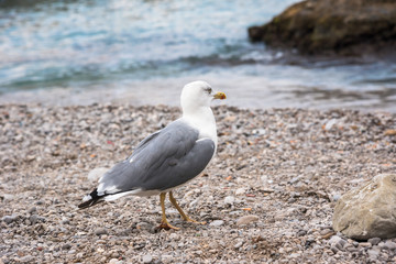 Seagull on rocky beach