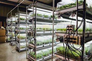 Cannabis seedlings indoors