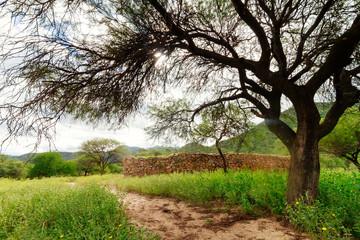 Tree beside ruins of ancient Shinkal Inca in Catamarca, Argentina