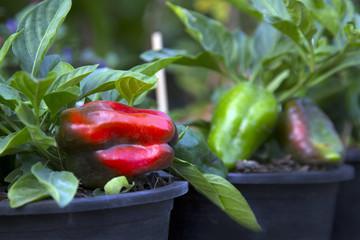 Green , Red bell pepper growing on stem in garden