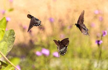 Pipevine swallowtail butterfly, Battus philenor