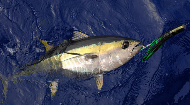 Yellowfin Tuna with lure in mouth off shore of California