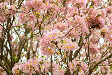 Pink tabebuia rosea blossom cherry flowers in the summer of thailand. Soft focus tabebuia.