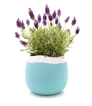 Lavender Stoechas plant in a blue and white flower pot on white background